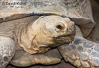 1121-0803  African Spurred Tortoise, Geochelone sulcata © David Kuhn/Dwight Kuhn Photography