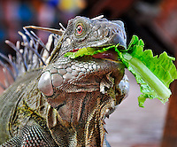 7 August 2009: The Green Iguana (Iguana iguana) is fed some lettuce. The Iguana is found throughout the island of Bonaire. Taken along the coral coastline at Captain Don's Habitat on the island of Bonaire, in the Netherlands Antilles. Mandatory Credit: Ed Wolfstein Photo