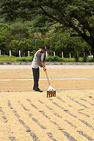 Man raking coffee beans drying in the sun near Matagalpa, Nicaragua