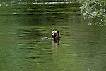 Grizzly bear in the water eating salmon