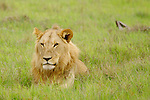 Lion (Pantera leo), Kwara Reserve, Okavango Delta, Botswana
