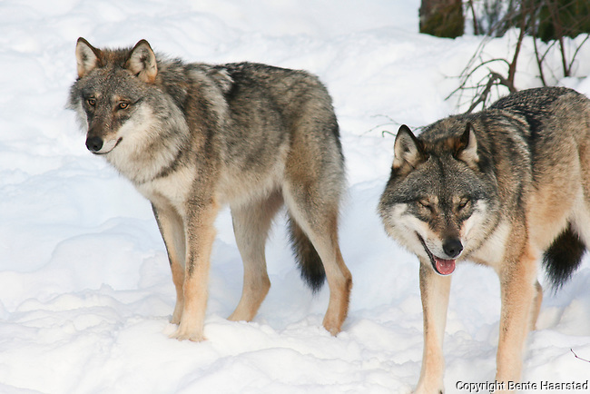 The wolves at namsskogan familiepark norway the alpha pair tuva and