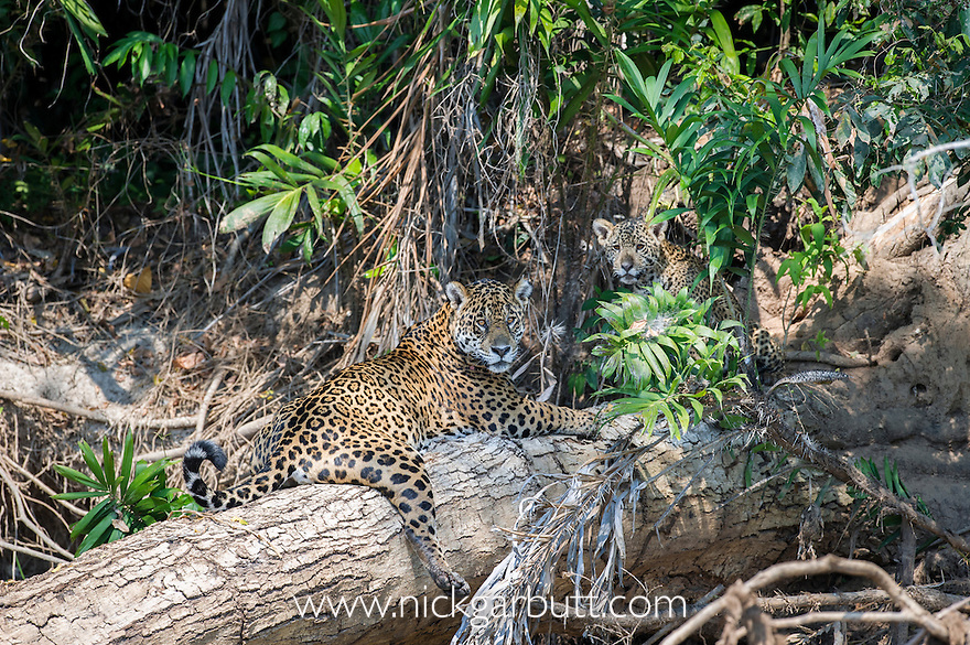 Female Jaguar (Panthera onca palustris) with young cub (estimate 5 months old), resting on a fallen tree over the Cuiaba River. Porto Jofre, northern Pantanal, Mato Grosso State, Brazil.