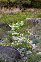 California spring wildflowers in drainage swale between  rocks in Menzies native plant garden San Francisco Botanical Garden,