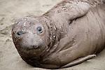 San Simeon, California; a young Northern Elephant Seal (Mirounga angustirostris) pup rests on the sandy beach