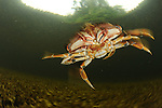 Dungeness crab (Cancer magister) swimming, Great Bear Rainforest, British Colombia, Canada