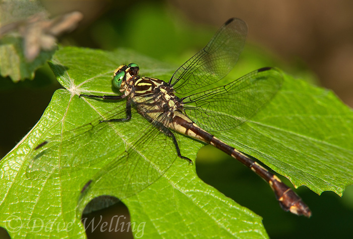 333930008 a wild female cobra clubtail dragonfly gomphus vastus perches on a leaf at hornsby bend travis county texas
