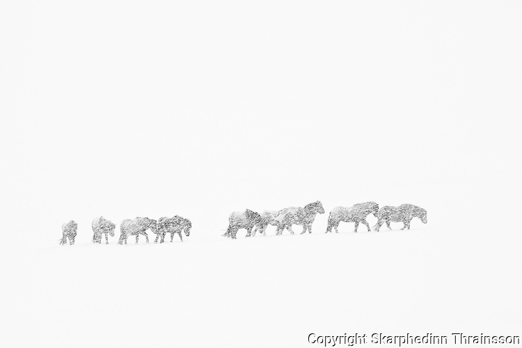 Icelandic horses in a snowstorm in south Iceland