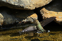 I was amazed to see this Ruby-throated Hummingbird floating in an effort to cool off. If you look closely you can see it's just light enough to float, with the water &quot;tension&quot; visible at the left wing tip.<br /> It used its right wing tip resting on the rock edge to keep it in place.