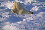 A polar bear lays in the snow napping.<br /> Canada