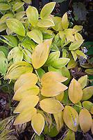 Polygonatum odoratum var. pluriflorum 'Variegatum' AGM (=P. falcatum 'Variegatum') in autumn fall color