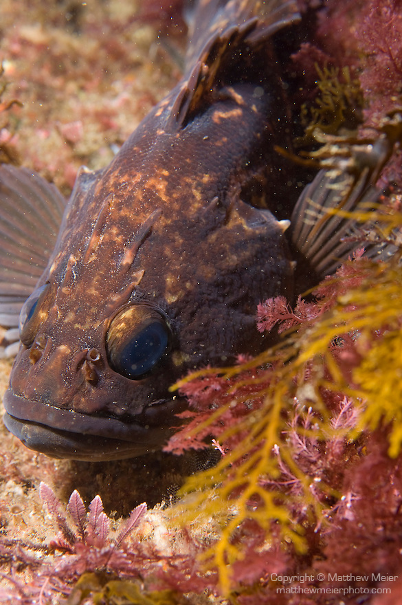 Catalina Island, Channel Islands, California; Brown Rockfish (Sebastes auriculatus) camouflage against the rocky reef, Casino Point dive site , Copyright © Matthew Meier, matthewmeierphoto.com All Rights Reserved