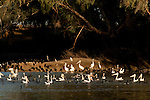 Australian pelicans(Pelecanus conspicillatus) along with little black cormorants (Phalacrocorax sulcirostris) frenzy feed in the hundreds along the Cooper Creek. The cormorants dive to catch fish and the bullying pelicans try to snatch the fish away from cormorants.