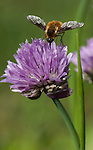 An insect enjoying the pollen from the allium flower