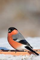 Gimpel, Dompfaff, Männchen, an der Vogelfütterung, Fütterung im Winter bei Schnee, frisst Körner am Boden aus einer Schale, Winterfütterung, Pyrrhula pyrrhula, Eurasian bullfinch, Bouvreuil pivoine