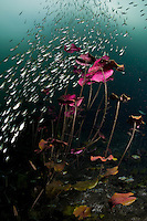 RX0005-D. small fish streaming past water lilies at the bottom of a cenote sinkhole. Riviera Maya, Yucatan Peninsula, Mexico.<br /> Photo Copyright &copy; Brandon Cole. All rights reserved worldwide.  www.brandoncole.com