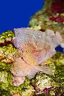 leaf scorpionfish, Taenianotus triacanthus, with venomous dorsal spines, Indo-Pacific Ocean (c)