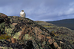 A peregrine falcon perches on a cliff in Nunavut, Canada.