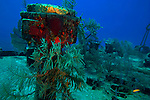 Soft Corals on the Bow, Oro Verde, Shipwreck, Grand Cayman