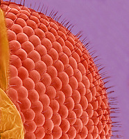 Fly compound eye. SEM