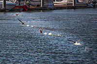 A Double-crested cormorant taking off from the San Leandro Marina is documented in five shots taken in sequence then blended into a single image.