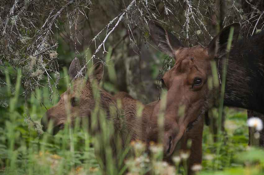 A moose cow and calf at Isle Royale National Park.