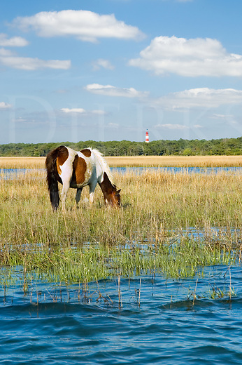 Stock photo of wild pony grazing sea grass just off Assateague Island, lighthouse in background, photographed from a boat floating three feet above the clam beds.