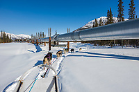 Recreational dog mushing by the Trans Alaska oil pipeline, Brooks range, Arctic, Alaska.