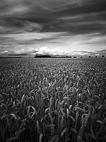 Wheat Fields, Suffolk | Black &amp; White