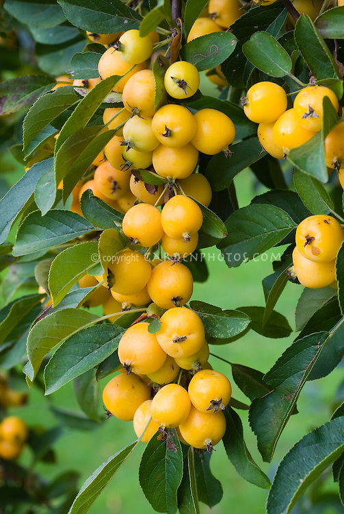 malus golden hornet fruits berries in autumn plant. Black Bedroom Furniture Sets. Home Design Ideas