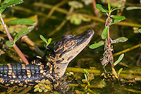This baby alligator is probably only a couple of months old where it basks in the late afternoon sunlight in the Shark River Valley of the Florida Everglades. Notice the bold black and yellow camouflage pattern - this will help hide it in its early years from hungry herons, storks, otters, raccoons and other hungry predators in the swamps until it turns the tables and begins to hunt the same animals that once used to hunt it!
