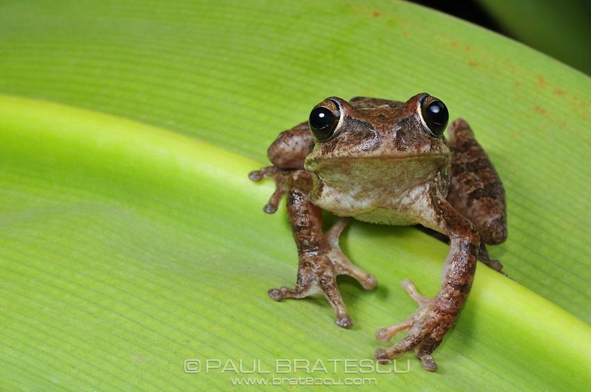 Baudin's Tree Frog, Van Vliet's Frog, or Mexican Tree Frog (Smilisca baudinii)