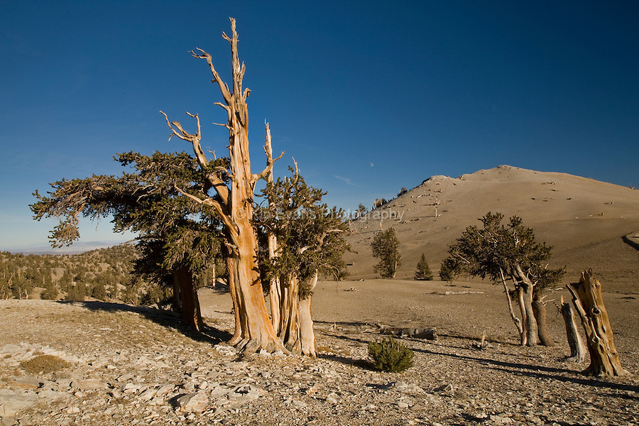 Ancient Bristlecone, White Mountains of California.