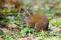 Musky Rat Kangaroo eats nut on forest floor, Daintree rainforest, Queensland, Australia