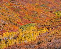 Aspens and Oaks, Manti-La Sal National Forest, Utah   Horse Creek drainage