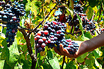 Grapes on the vine ready for harvesting in the wine producing region of Ica, Peru.
