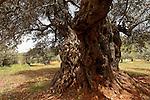 T-107 Olive trees in Ein el Assad