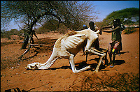 Near Wajir, NE Kenya, March 2006.Leheley water hole, nomadic herdsmen try to raise a dying camel to bring it to a waterhole that possibly could save its life...