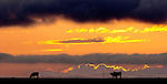Cattle graze as a storms gathers at sunset north of Chipley, Florida.