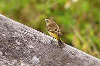 Palm warbler in the Florida Everglades. These tiny and delightful winter visitors are often seen looking for food in the grass and palmettos.