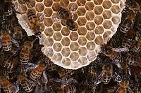 Honeybee comb