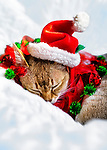 Minnie, sleeping Singapura cat, wearing Santa Hat and Christmas Collar
