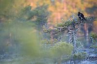 04.04.2009..Black Grouse (Tetrao tetrix) display. Frost. Lekking behaviour...Bergslagen, Sweden