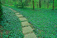 pathway through groundcover, vina rosa, ivy, violets, around garden, in spring