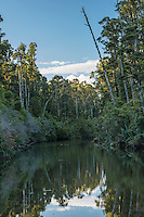 Kahikatea native forest in Okarito Lagoon, Westland National Park, West Coast, World Heritage Area, South Westland, New Zealand