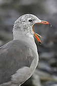 Heermann's Gull head with open mouth showing the tongue (Larus heermanni), Victoria, British Columbia, Canada.