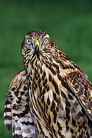 537413011 a captive falconer's bird a juvenile northern goshawk poses for a portrait image in during a hawking meet in california