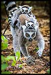 2014 Lemur Photowalk