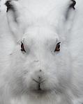 Canada, Manitoba, Churchill, Arctic hare (Lepus arcticus)