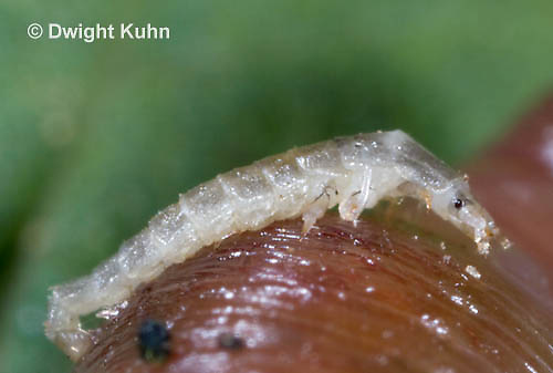 1C24-827z   Pyralis Firefly larva -  Lightning Bug - newly hatched larva - Photinus spp.
